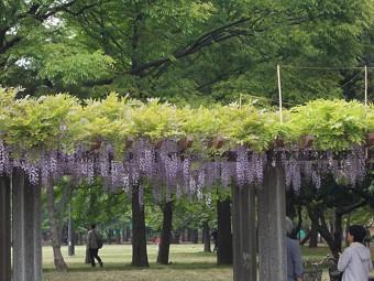 清澄公園の藤.jpg